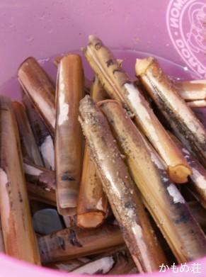 マテ貝の写真